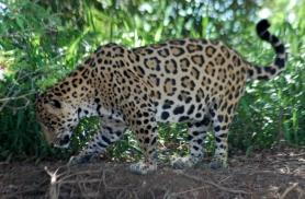 Jaaguar püüab tüütuid kärbseid Pantanalis