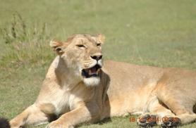 Emalõvi Serengetis