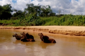 Kapibaarade pere tervitab