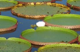 Amatsoonase suured vesiliiliad Pantanalis