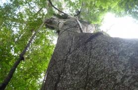 Sumauma puu, 500 aastat Amatsoonase kliimat on puust korraliku puraka kasvatanud