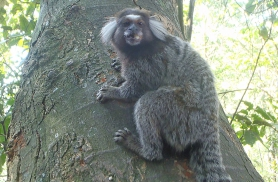 Pärdikuga võib kohtuda ka Rio de Janeiros Tijuca vihmametsas