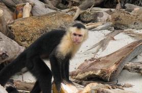 Capuchino ahvid on eriti maiad kookospähklite järele