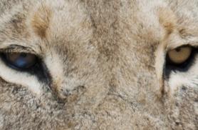 lõvisilmaBotswanas