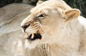 lõvi Botswanas