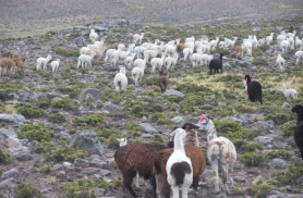 Nendest tulevadki ülisoojad kampsunid - alpacad Peruus 2010