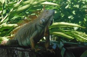 Iguaanidele meeldib poseerida