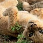lõvipoeg