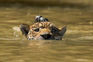 brasiilia loodus-jaaguar ujub