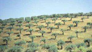 oliivipuud