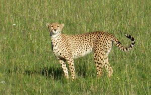 Gepard_Masai_Mara2