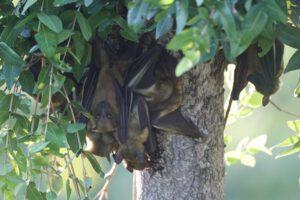 bats-kasanka